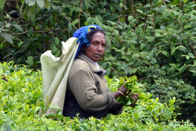 A tea picker in Nuwara Eliya, Sri Lanka